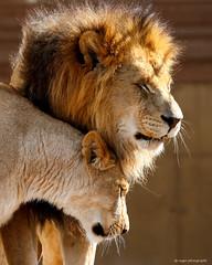 Lion pair (dpsager) Tags: africanlion columbus columbuszoo dpsagerphotography lion ohio zoo