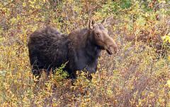 Autumn Moose (ken.helal) Tags: