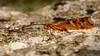 Limnephilus lunatus (Cinnamon Sedge). (od0man) Tags: limnephiluslunatus cinnamonsedge insect trichoptera caddisfly skinnertrap macro liden swindon wiltshire uk canonef100mmf28lisusmmacro macrolife limnephilidae