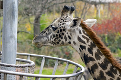 Cleveland Metroparks Zoo 11-11-2014 - Giraffe 2 (David441491) Tags: masaigiraffe firaffe clevelandmetroparkszoo