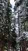 20170916_104241.jpg (Mark Kaletka) Tags: custergallitinnf trees beartoothhighway nationalforest mt forest roadtrip snow pines montana ortoneffect lightroom campsite