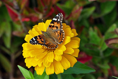 Another Lady! (+David+) Tags: butterfly paintedlady brickstone stjohns surprised