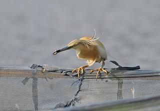 Squacco Heron, Hortobágy, Hungary June 2010