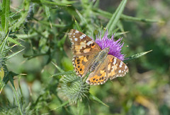 Painted lady on a thistle (ewan.osullivan) Tags: butterfly flower insect bostonharborislands spectacleisland paintedlady vanessacardui