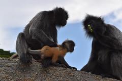 Silver Leaf Monkeys (F1.Fan) Tags: bukitmalawati kualaselangornaturepark malaysia