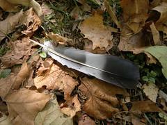 2017-09-18-11533 (vale 83) Tags: autumn nokia n8 coloursplosion colourartaward flickrcolour autofocus beautifulexpression feather macrodreams leaves