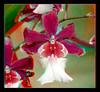Longwood Gardens Flowers 12 - Anaglyph 3D (DarkOnus) Tags: pennsylvania bucks county panasonic lumix dmcfz35 3d stereogram stereography stereo darkonus longwood gardens flowers scenic scenery flower botanical garden orchid orchids pareidolia macro anaglyph