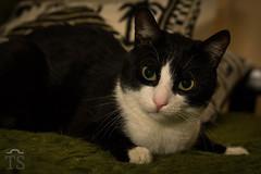 IMG_6520 (Todorovic Srecko) Tags: cat pet macka kucni ljubimac todorovic srecko cats kaca zivotinja portret flash canon serbia 1200d 50mm ngc