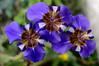 Neomarica (Mario Donati) Tags: tinytreasuresinflora smileonsaturday nikon d3100 nikkor35mm18 neomarica