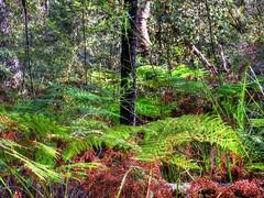 Ferny understorey (elphweb) Tags: hdr highdynamicrange grass leaves forest plants bush tree trees australia nsw coastal ferns bracken brackenfern