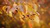 colors of autumn (proffkom_) Tags: bokeh takumar 50mm f14 retrolens analogue manual vintage asahi smc m42 pentax autumn 2017