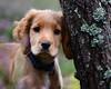 Loki (Gavin MacRae) Tags: cockerspaniel cockerspanielpuppy puppy dog goldencocker spaniel