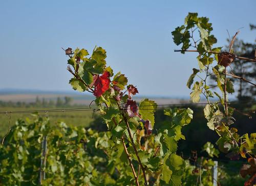 Podzim přišel do vinic