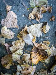 266/365 - Leaves