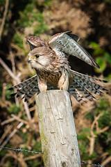 Kestrel (mark50d) Tags: nikond700 sigma100400mmos whitby whitbylighthouse kestrel birdofprey