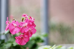 Priceless (Dimisahn) Tags: nikone50mmf18 flower red pink bars extremebokeh exquisitebokeh