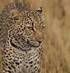Leopard (Markp33) Tags: