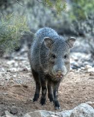javelina (JoelDeluxe) Tags: saguaro national park border crickethead inn tucson az arizona cacti landscape bednbreakfast nighttime long exposures stars wideopen skies joeldeluxe