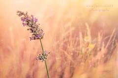 Juegos florales 6 (javiruiz) Tags: juegosflorales macro malva morado lavanda montaje fondo fujifilm xt1 canonfd50 calido flor naturaleza brihuega