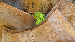 Yellow-chevroned Parakeet (Paulo Lahr) Tags: periquito encontro amarelo yellowchevroned parakeet brotogeris chiriri praça dos cristais brazil brasil brasília verde parrot psittacidae bird birds birdwatching birdwatcher