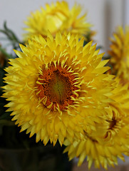 2017 Sydney: Yellow Paper Daisy (dominotic) Tags: 2017 paperdaisy australiannativeflower asteraceae flower nature sydney australia yellow circle