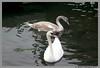 Father & Son (James0806) Tags: wickford rhodeisland usa cygnets swans wickfordri wickfordcove waterbirds