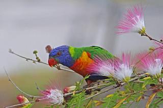 Rainbow Lorikeet 053