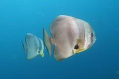 Batfish (sarah.handebeaux) Tags: raja ampat indonesia diving reef