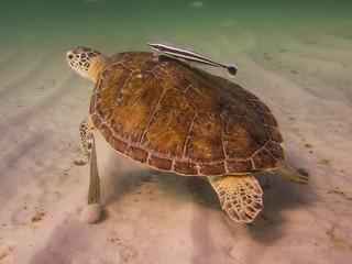 Green Sea Turtle Stirring the Sand