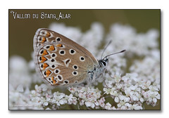 Vallon du Stang Alar 2017 - L'Argus bleu ... (porte-plume) Tags: brest stangalar stangalard