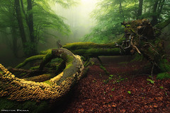 The circle of Life (Hector Prada) Tags: bosque niebla árbol hojas primavera bruma encantado musgo hayedo forest fog tree leaves fallen mist spring enchanted charmed creepy mood moss paísvasco basquecountry