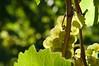grapes (pk5dark) Tags: wachau weintrauben