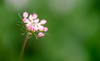 Waiting for the right moment (Bai R.) Tags: bokeh romanticmood flower pink green woods dreamy nikkor105mmf28gvrmicro