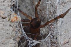 Arachtober 27(b) (Procrustes2007) Tags: spider amaurobius amaurobiussimilis arachnid arachtober laceweb macro nikond50 nikkor50mmais tamron2xteleconverter vivitarextensionrings68mmtotal flash greatcornard suffolk uk britain england