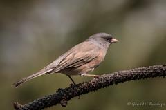 Dark-eyed Junco (Turk Images) Tags: darkeyedjunco juncohyemalis montanacity pineforest pinksidedpopulation birds daju emberizidae helena montana alpine