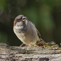 _IMG1454 House Sparrow (Pete.L .Hawkins Photography) Tags: house sparrow petehawkins petelhawkinsphotography petelhawkins petehawkinsphotography pentax 100mm macro pentaxpictures pentaxk1 fantasticnature fabulousnature incrediblenature naturephoto wildlifephoto wildlifephotographer naturesfinest unusualcreature naturewatcher birds