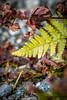 Couleurs d'automne (alain.deroubaix) Tags: 2017 isère géographie chamrousse automne nature plantes