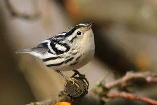 Black-and-white Warbler (EXPLORED #19)