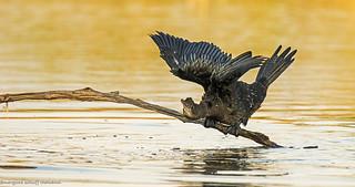 marangone minore, pygmy cormoran ..