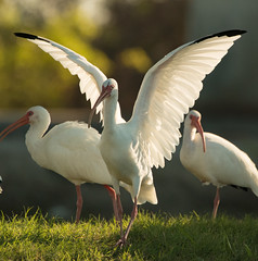 20171024-_MG_9060.jpg (Edie Mendenhall) Tags: florida natural sunny close legs marsh tropicl nature long birds big plumage egret great ardea threskiornithidae stalking tourist feather wild wildlife beautiful standing animal scenic conservationarea outdoors ibis isolated wading green white