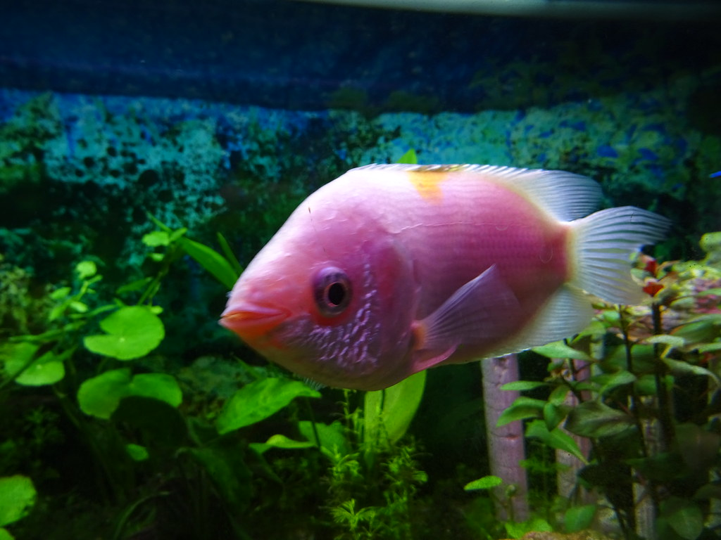 The world 39 s best photos of fish and gourami flickr hive mind for Pink kissing fish