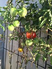 My little balcony - Tomato (kellyagrey) Tags: tomato garden balcony citygarden basil jalapeno pepper gypsypepper fresh food organic greenonion