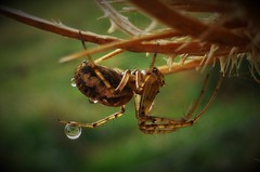 Spider Droplet..x (Lisa@Lethen) Tags: halloween spider water nature macro droplet