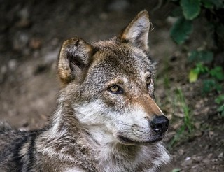 Alpenzoo - Wolf