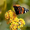 Red Admiral Butterfly (Lancehobbie) Tags: northnorfolk autumn alpha a550 minolta 75300mm sculthorpe redadmiral
