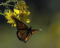 MonarchButterfly_SAF2087-1 (sara97) Tags: danausplexippus butterfly copyright©2017saraannefinke endangered insect missouri monarch monarchbutterfly photobysaraannefinke pollinator saintlouis flight inflight
