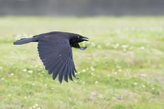 Torresian Crow (Corvus orru) (Ian Colley Photography) Tags: bird canoneos7dmarkii 500mm torresiancrow corvusorru inverell