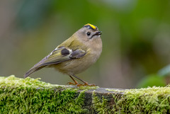 DSC5112  Goldcrest.. (jefflack Wildlife&Nature) Tags: goldcrest birds avian animal wildlife wildbirds wetlands woodlands warbler warblers songbirds gardenbirds countryside copse heathland hedgerows moorland meadows marshland farmland forest nature
