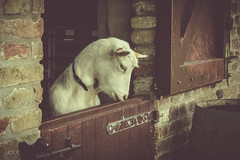 My door still smells like you (babs van beieren) Tags: 7dwf sunday fauna goat animal hoevehangerijn farm nostalgia