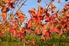Herbst im Weingarten (bernhard huber) Tags: herbst kirchbergamwagram weingarten weinstock niederösterreich regionwagram donau